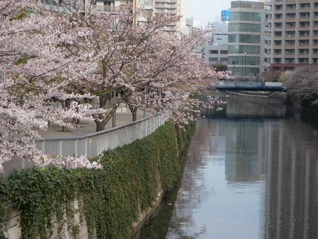 目黒川 桜 13日.JPG