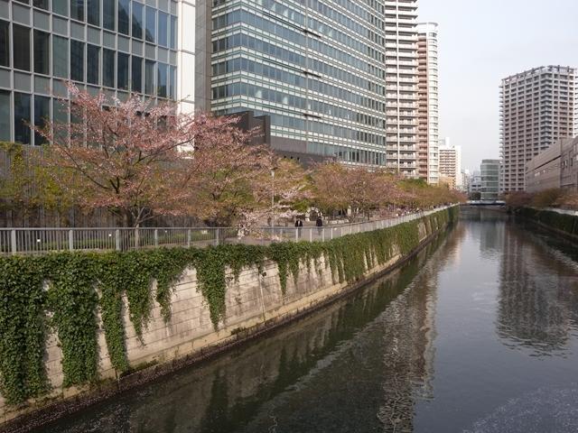 目黒川 桜 16日2.JPG